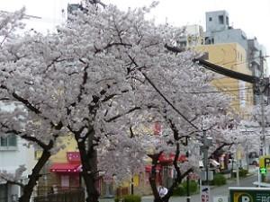 桜サイズ変更済